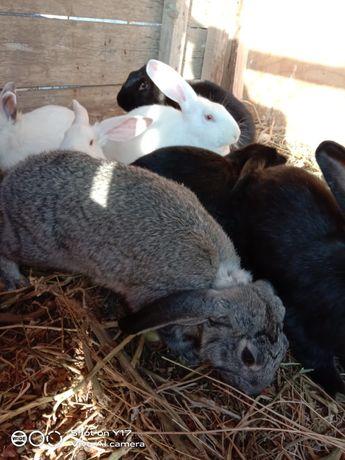 Қоян Кролик 3 месяца