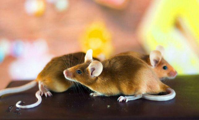 Продам сатиновых мышей