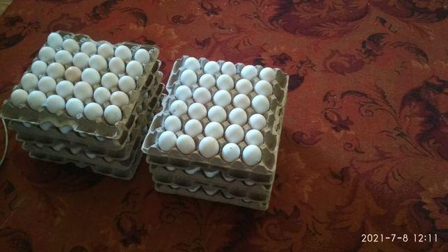 Продам яйцо бройлера кобб 500