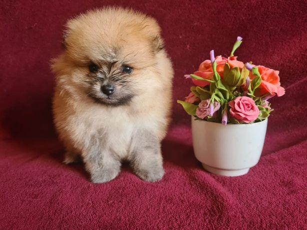 Очень красивые щенки щпица девочки и мальчики!