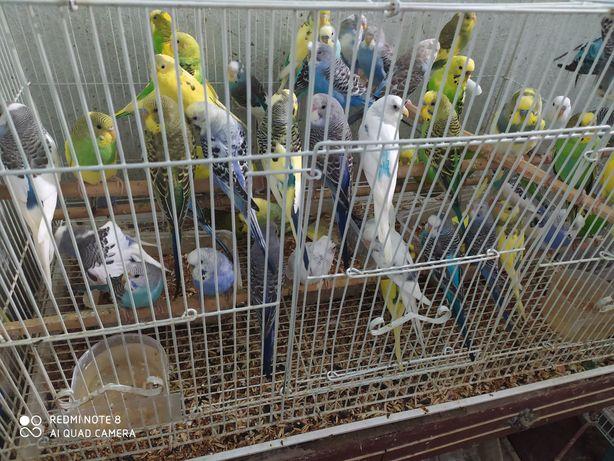 Попугай волнистые по 2700т шт