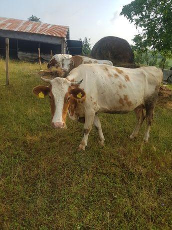 Vănd vacă bălțată romănească