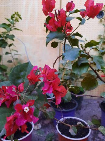 Бугенвиллия цветы