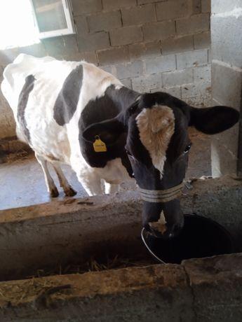 Срочно продам корову первый оттел,