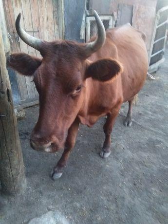 Корову и теленка