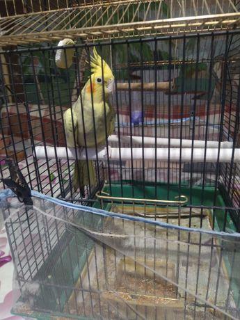 Продам попугая карелла. Вместе с клеткой