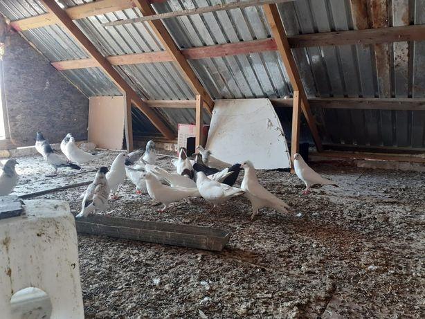 Прадам голуби 4000тг 2000тг