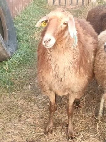 Продаётся овцематка  2 года яловая.