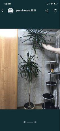 Дрцена, пальма, комнатный цветок