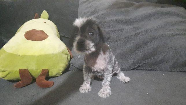 Продаються щенки лысой китайская собачка