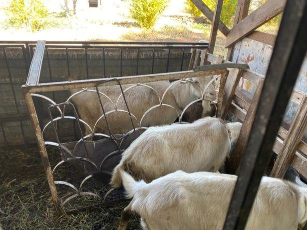 Прадаются козы и казел