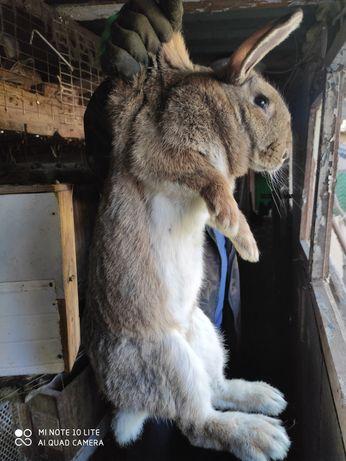 Кролики. Помесь Фландер и калифорнийского.