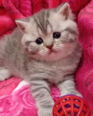 Котята толстощёкие и щекастые брутальные британские