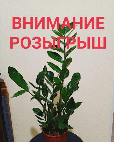 Лотерейный билет (розыгрыш горшечного цветка Замиокулькус)