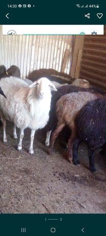 Жирные бараны и овцы от 35.000тенге