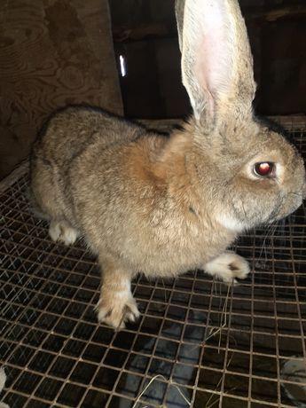 Продам кролика порода фландр чистокровные