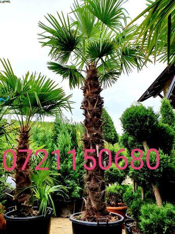 Poze reale 100 % / Palmieri, pon pon, bonsai, buxus glob, tuia spirala
