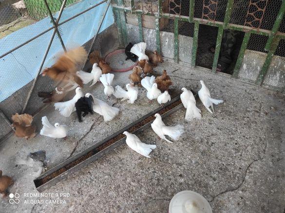 гълъби Старозагорски бели ,Ростовски жълти
