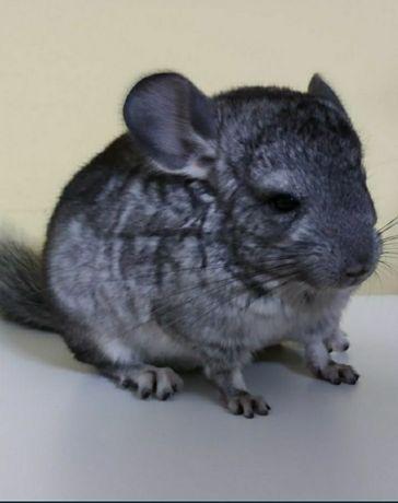 Animal de companie chinchilla