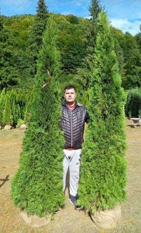 Tuia columna smaralgd/ mare 1m-3m spirală , pon pom brazi etc