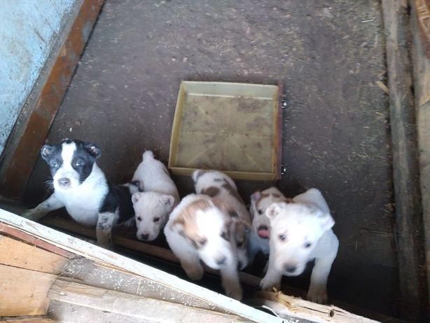 Продаются щенки Алабай