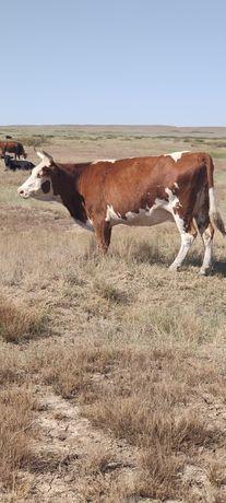Сиыр жиликтеме кашар халал ет! Корова  согым жіліктеме мясо говядина