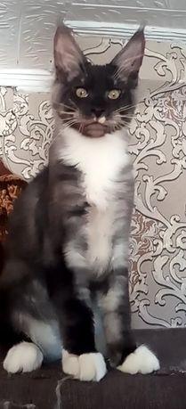 Котята Мейн Кун. Скидка в разумных пределах
