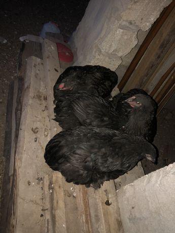 Продам цыплят Черный Брамы