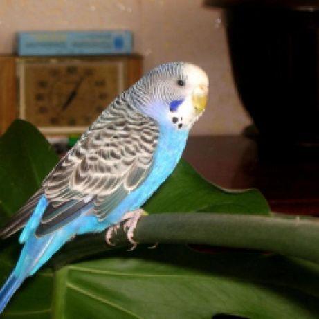 Классный веселый попугайчик ! Волнистый попугай с клеткой