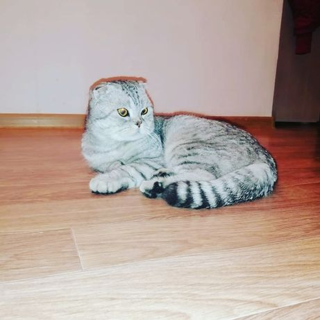 Продам породистых котят вислоухих британцев