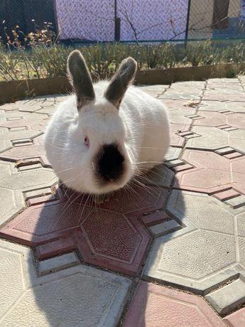 Продав кроликов калифорния