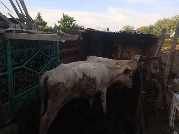 Vaci și juninci de vanzare