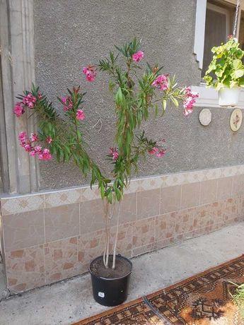 Leandru Roz Floare Bătută Triplă