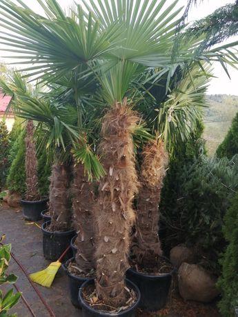 Vind palmier /magnolie grandi flora /tuia /mesteacăn