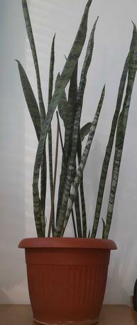 Комнатные растения сансевьерия