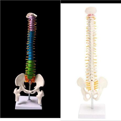 Coloana vertebrala colorata/simpla invatat plastic studiu