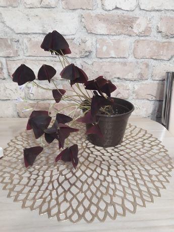 Продам растение. Кислица