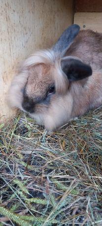 Vând iepuri rasa cap de leu