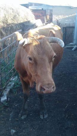 Корова 4 года 4раза отелисся