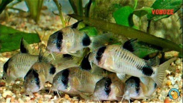 Продам аквариумную рыбку сомик коридорас панда