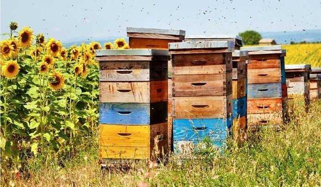 Lichidez stupina - stupi, familii albine - rame, faguri.