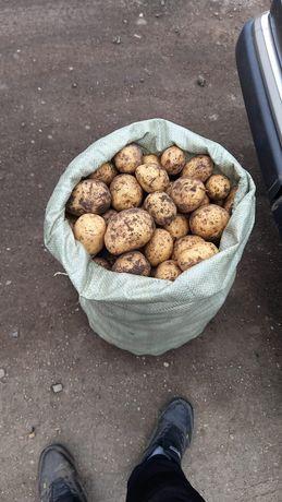 Картофель  закупаем