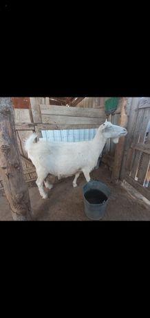 Продаю коза, Ешкі зааненский порода