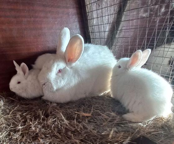 Продаю Крольчата НЗБ