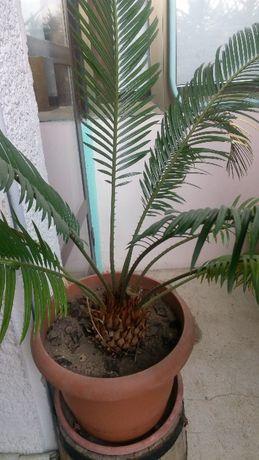 продавам или давам под наем големи палми и други растения