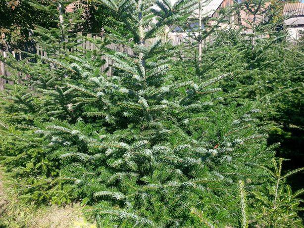 Brazi Nordmandia de la producator/pomi de craciun cu radacina