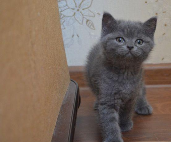 Котик голубой Шотландский