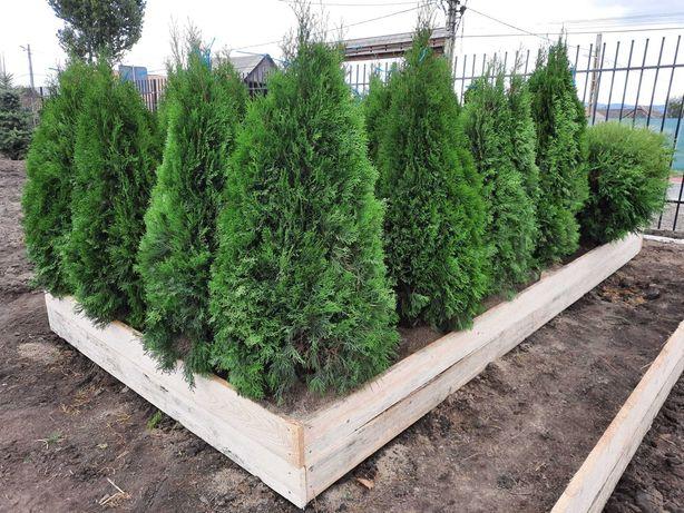 Tuia Smaragd - Thuia Occidentalis Smaragd din pepiniera GreenFarm