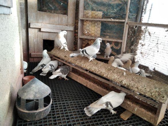 Гълъби всякакви породи