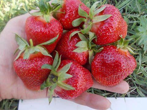 разсад ягоди Клери